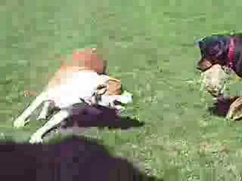 dog fight rottweiler vs pitbull