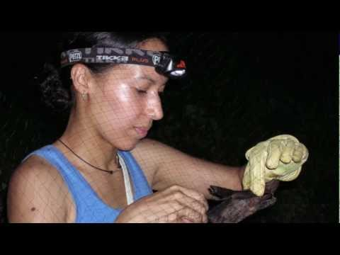 Studying tropical bats