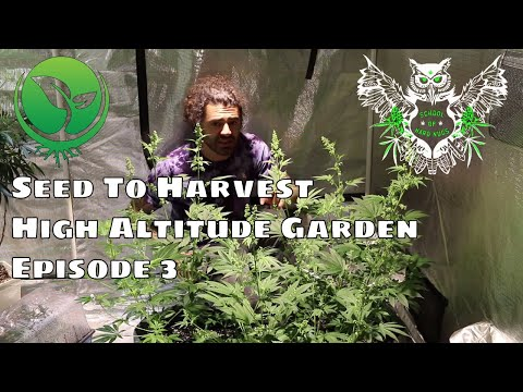 Seed to Harvest High Altitude Cannabis Episode 3