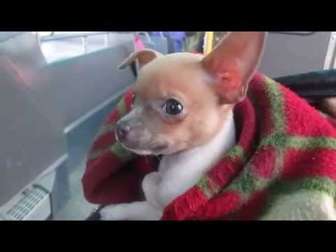 Teacup Chihuahua Rides the bus for the first time