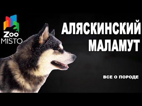 Аляскинский маламут - Все о породе собаки