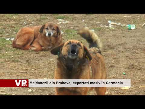 Maidanezii din Prahova, exportați masiv în Germania