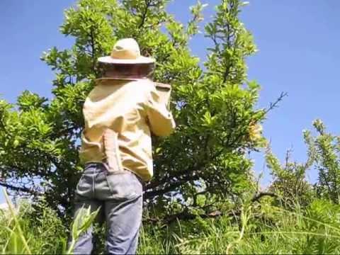 Roi albine 2013   prinderea roiului!