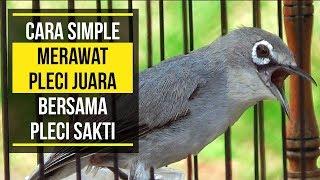 Download Video CARA MUDAH MERAWAT PLECI JUARA MP3 3GP MP4