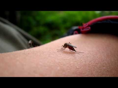 High Def Video Of Mosquito Sucking Blood.