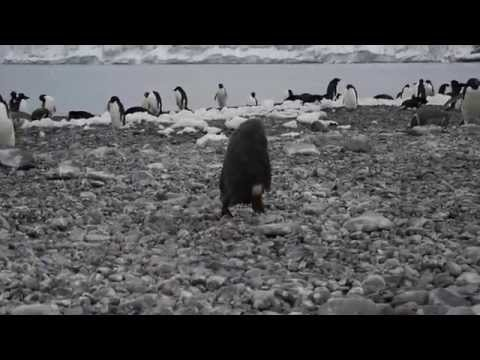 Penguin Chick face plant  - had a bad day
