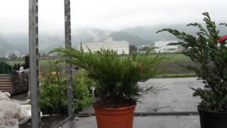 #666 Höher wachsende Wacholdersorten - Resistent gegen Birnengitterrost