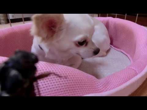 意地の悪い飼い主とチワワ Chihuahua is afraid of cicada.