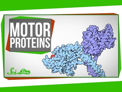 Motor Proteins Tiny Pirates in Your Cells