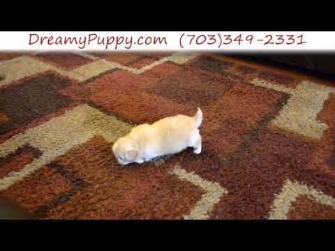 Adorable Toy Pekingese Male Puppy 2