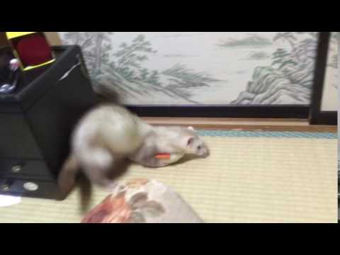 ferret and soft toy