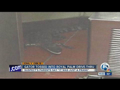 Alligator tossed into Royal Palm Beach Wendy's drive-thru window