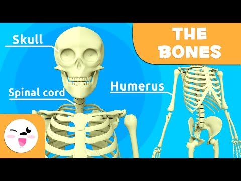 The Skeletal System - Educational Video about Bones for KIds