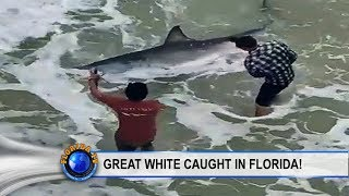 Great White Shark Caught In Florida Panhandle!