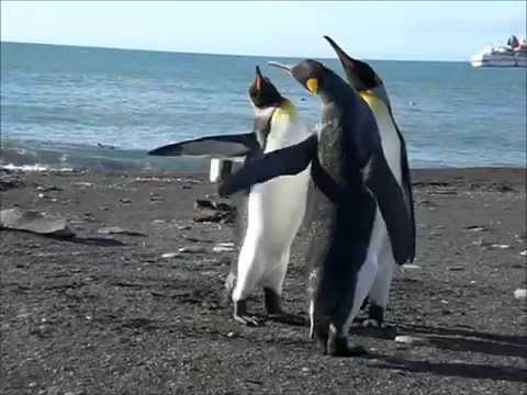 Funny Penguin's Get Into a Slap Fight