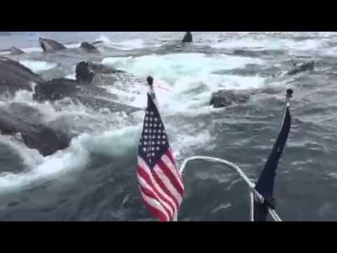 Alaska, un branco di balene emergono vicino alla barca