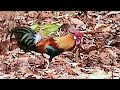 Jungle cock & hen Crossing Road  Kanha Park Video by Shirishkumar Patil
