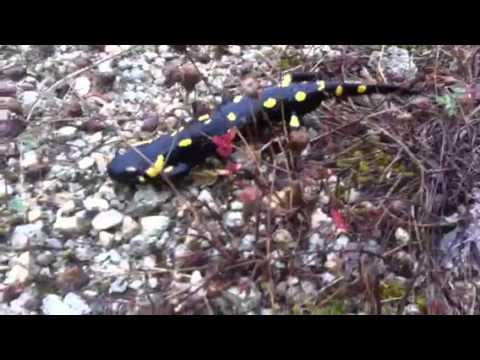 la salamandra - tutto quello che bisogna sapere!
