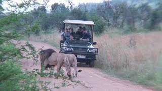 Pilanesberg South Africa  city photos gallery : Lions of Pilanesberg Game Reserve, South Africa