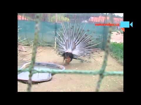 Páv korunkatý a další drůbež v zoo Dvorec u Borovan 16.4.2016