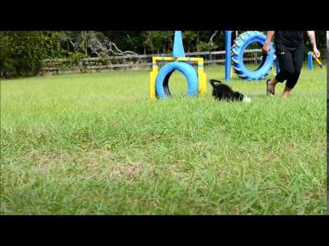 Dalila very playful Labradoodle