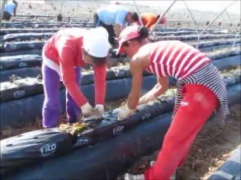 Fibra de coco Fico: Garantía de éxito en cultivo hidropónico de Fresa