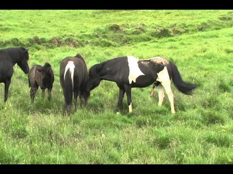 horse mating with little donkey jumento em pernambuco horses mating