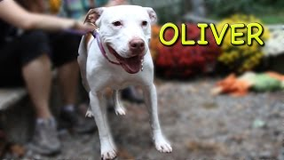 Oliver - Pit Bull Terrier / American Bulldog / Mixed (short coat) Dog For Adoption