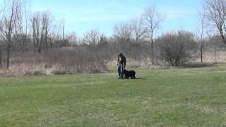 Portuguese Water Dog Training Off Leash