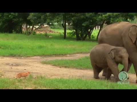 Baby elephant meets cat for the first time