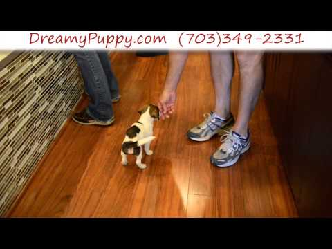 Spunky Jack Russell Terrier Male Puppy 2