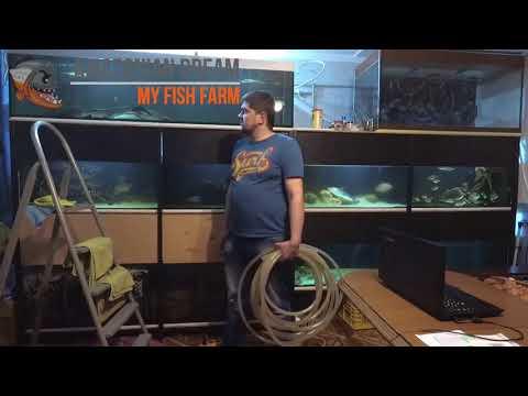 аквариум с крупной америкой - DomaVideo.Ru