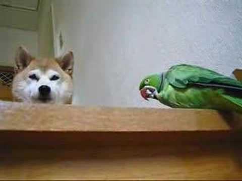 「[ペット]ワカケホンセイインコがピーナッツを食べ終わるまで待ってる柴犬がカワユス。」のイメージ