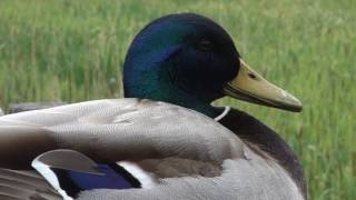 drake mallard at radipole lake
