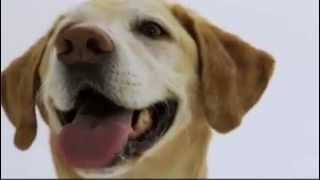 Dogs 101- Labrador Retriever.mp4