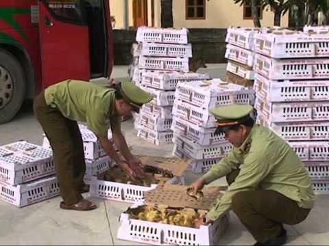 Đội QLTT số 4 bắt giữ gần 5.000 con gia cầm