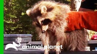 Raccoons Being Illegally Kept As Pets Taken To Rehab Facility | North Woods Law by Animal Planet