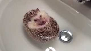 Hedgehog Boat