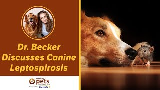 Dr. Becker Discusses Canine Leptospirosis