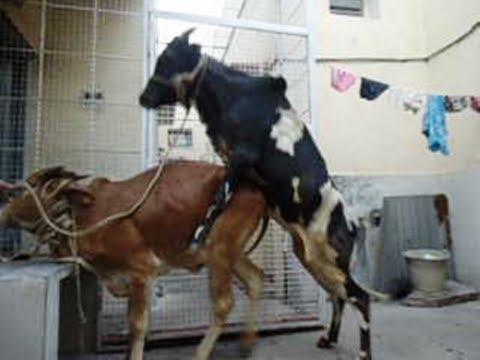 Mating Gir X Gidda bull 5 at last with assitance