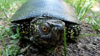 Balatonkenese Hungary  City new picture : Mini footage - European pond turtle show (Balatonkenese, Hungary)