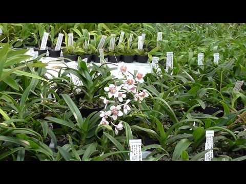 Orchideen Arten: Sarcochilus fitzgeraldii