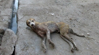 We found him collapsed on the side of the street, severely wounded. His body had completely given up and we believe that if we hadn't rescued him right when we did he likely wouldn't have survived another day. The side of his head was being eat away by maggots and his ear was completely destroyed. He also had mange, was emaciated and old. It was easy to imagine him completely giving up on life, but this old boy wasn't ready to say goodbye. As soon as we began his treatment he responded and started to grow stronger day by day. Meet Major Sahib today! Please donate to give intensive care to wounded street animals in India who aren't ready to say goodbye : http://www.animalaidunlimited.org/how-to-help/donate