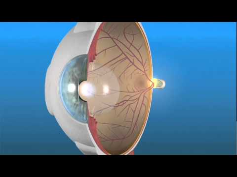 Retina - The macula is a small area at the center of the retina that gives us our pinpoint central vision. The area of retina surrounding the macula gives us our peri...