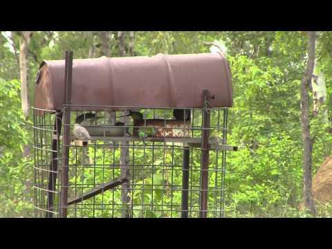 Golden-Shouldered Parrots Feeding