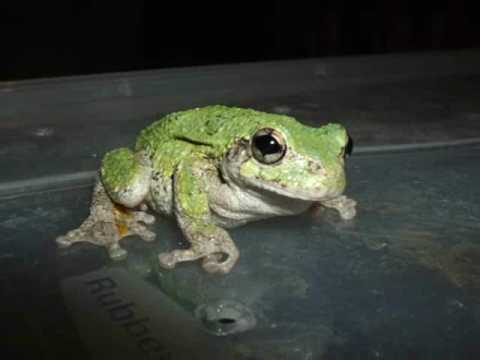 CUTEST TREE FROG PICTURES ... EVER