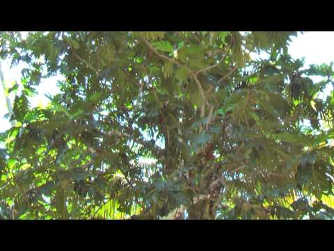 Coconut plantation in Baracoa Cuba