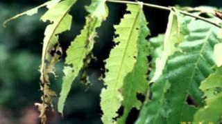 แมลงค่อมทอง ด้วงกัดกินใบ ด้วงกุหลาบ