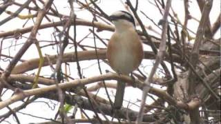 Video Masked Shrike      -   Lanius nubicus MP3, 3GP, MP4, WEBM, AVI, FLV Agustus 2018