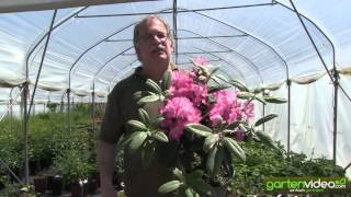 #1180 Rhododendron Hybride Fidelius